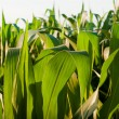 Corn field — Stock Photo #6323468