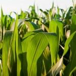 Corn field — Stock Photo #6323468