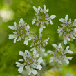 Cilantro in Bloom — Stock Photo