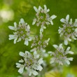 Cilantro in Bloom - Stockfoto