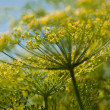 Dill in Bloom — Stock Photo