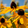 Rudbeckia — Stock Photo #6364557