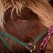 Scottish Highland Hairy Cow - 图库照片