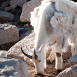 Mountain goat — Stock Photo #6727949
