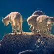 Baby mountain goats — Foto de Stock