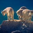 Baby mountain goats — ストック写真