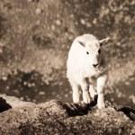 Mountain Goat Kid — Stock Photo #6728707