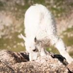 Mountain Goat Kid — Stock Photo #6728710