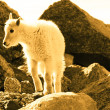 Mountain Goat Kid — Stock Photo