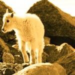 Mountain Goat Kid — Stock Photo #6728766
