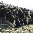 Dairy Cows — Stock Photo