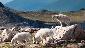 Jovens cabras mountian — Foto Stock