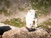 Mountain Goat Kid — Stock Photo