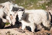 Baby bergsgetter — Stockfoto