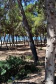 A pine forest on the sea — Stock Photo