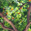 Mandarin is growing on a tree - Stock Photo