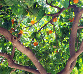 Mandarin is growing on a tree — Stock Photo