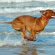 Running Rhodesian Ridgeback hound dog — Stock Photo