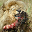 Feeding lion with kill - Stockfoto