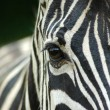 Closeup Zebra eye — Stock Photo