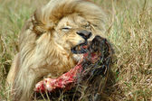 Feeding lion with kill — Stockfoto