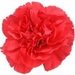 Red Carnation flower on white — Stock Photo #6116078