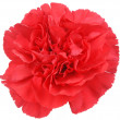 Stock Photo: Red Carnation flower on white