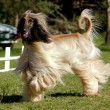 Afghan hound dog running - Stock Photo