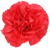Red Carnation flower on white — Stock Photo