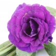 Purple desert rose flower on white — Stock Photo