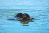 Swimming dog retrieving stick — Stock Photo