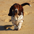 Stock Photo: Basset hound