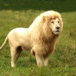 Stock Photo: Africwhite lion