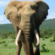 African elephant bull - Stock Photo
