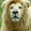 White lion portrait — Foto de Stock