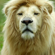 Stock Photo: White lion portrait