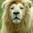 White lion portrait — Stock Photo