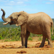 African elephant smelling — Stock Photo