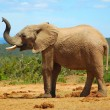 Stock Photo: Africelephant smelling
