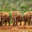African elephants — Stock Photo #6201109
