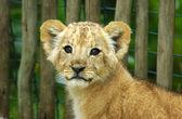 Lion cub — Stock Photo