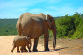 Elephant cow with calf — Stock Photo