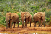 African elephants — Foto de Stock