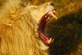 Kükreyen aslan — Stok fotoğraf