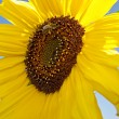 Sunflower - Photo