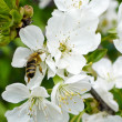 Stock Photo: Bee on cherry tree flowers