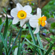 Stock Photo: Narcis flowers