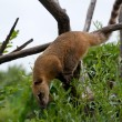 Stock Photo: Red Coati