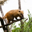 Stock Photo: Coati on tree