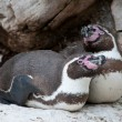 Stock Photo: Magellanic penguin